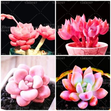 200pcs Rare Pink Beauty Flower pots planters Succulent seeds plants DIY Home bonsai courtyard Free Shipping