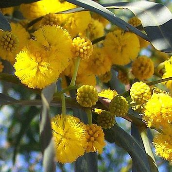 Golden Wattle Tree Seeds (Acacia cyanophylla) 25+Seeds