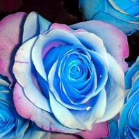 Flower seeds 100Pcs seeds BLUE STRIPE ROSE RARE ROSE ROSE BUSH BLUE WHITE DRAGON
