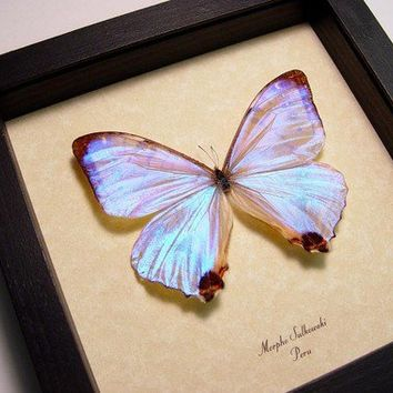 Best Seller 13 Years Real Mother of Pearl Morpho Sulkowski Butterfly 232