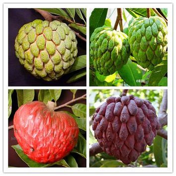 10 pcs fruit seeds Custard apple seeds Buddha's head fruit tree plant Rare Giant Cherimoya seeds for home garden