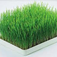 BULK 500 Seeds, Cat Grass, Wheatgrass, Healthy, Organic, Easy to Grow