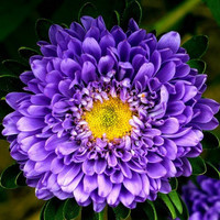 Heirloom 600 Seeds Callistephus chinensis China Aster Blue Purple Matsumoto 600 Flower Bulk Seeds B6027