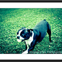 Boston Terrier Running with Tennis Ball Photograph, Dog Photo, Pet Photo, Pet Portrait, Cute Animal Portrait, Dog Lover Home and Wall Decor