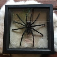 Double Glass Tarantula