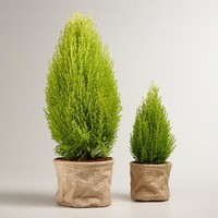 Live Lemon Cypress Tree in Burlap