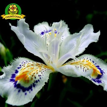 2018 Hot Flowers Seeds Japanese Iris Japonica Seed 100PCS White Iris Orchid Rare Exotic Flower Easy to plant Garden Home Bonsai