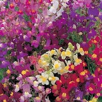 Toadflax Fairy Bouquet Mix Flower Seeds (Linaria Maroccana) 200+Seeds