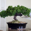 Monterey - Single Trunk-Preserved Bonsai Tree(Preserved - Not a living tree)