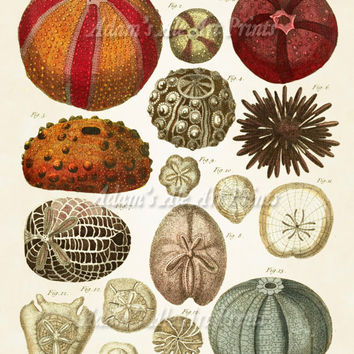 Vintage Colorful Sea Urchins Scientific Illustration Art Print