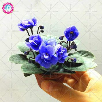 100% genuine African violet seeds bonsai flower potted garden plant Perennial Herb for Home Garden balcony Courtyard 100pcs