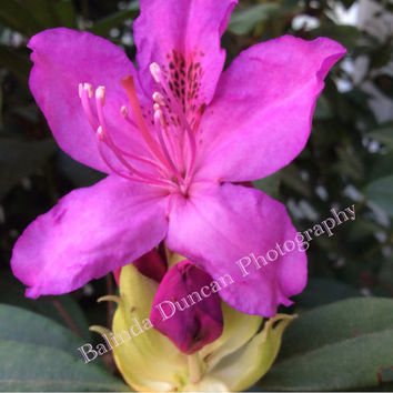 Digital Download, rhododendron, fushsia color, pink, wall decor, download print, flower print, outdoor photo, desktop download,spring flower