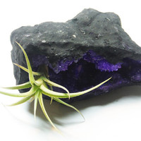 Live Air Plant Tillandsia Violet Crystal Garden - Space Cave Geode - Terrarium - Science and Geology Gifts