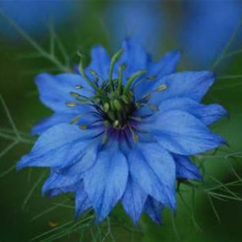 LOVE IN A MIST, 50+ SEEDS , BEAUTIFUL BLUE  FLOWER.