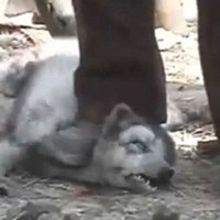Stop Raccoon Dogs Being Skinned Alive for fake Ugg Boots : Stop killing the raccoon dogs for fake uggs
