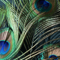 Nature Photography  - Peacock Feathers Fine Wall Art