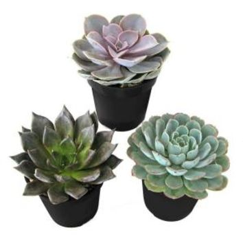 9 cm. Assorted Desert Rose Echeveria Plant (3-Pack) 0881005 at The Home Depot - Mobile