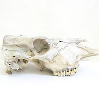 vintage southwestern skull bone / western decor / cow or horse