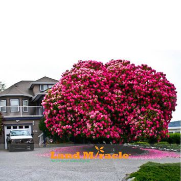 20seeds/pack, Amazing Pink Cherry Tree, Japanese Sakura Cherry Blossom Tree Seeds for DIY Home Garden,Woody Cherry Flower Tree