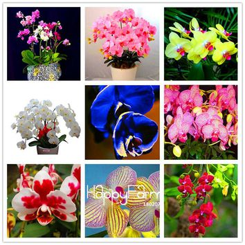 Time-Limit!! 100 Seeds/Pack Bonsai pot Flowers Seeds home garden Plants Indoor Phalaenopsis Orchid Seed