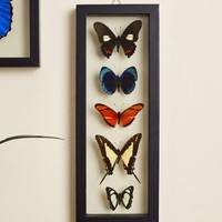 Five Butterflies in Black Frame