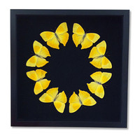 Real Sulfer Butterfly Framed Display