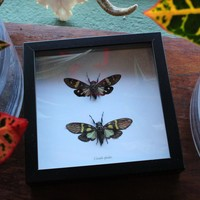 Cicada Pair in White Backed Black Frame