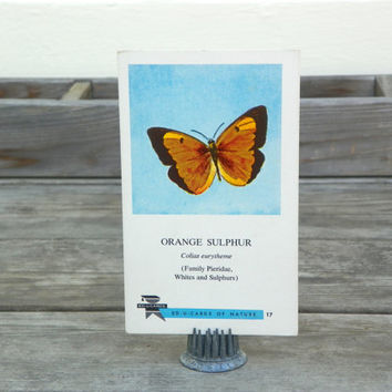 Vintage Orange Sulfur Butterfly Science Flashcard Garden Insect Ephemera, 1961