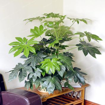Palm Tree Turtle Leaves Monstera Potted Plants Seeds Perennial Rare Tree Seeds Bonsai Angiosperms 100 Pcs DIY Home Garden Plant