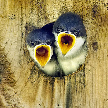 Two Tree Swallow Chicks