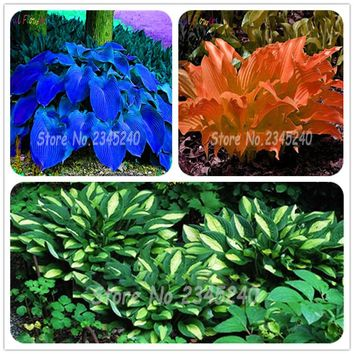 20pcs/rare pack Hosta Seeds Perennials Lily Flower White Lace DIY Home Garden Ground Cover Plant free shipping