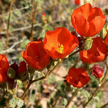 Desert Mallow, Sphaeralcea, 25 seeds, showy blooms year round, grows quickly, drought tolerant, zones 6 to 10, cool hedge, great cut flower