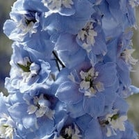 Mid-Blue Magic Fountains w/White Bee Delphinium Flower Seeds /   Perennial 25+