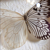 Descaled Rice Paper Butterfly - Museum Glass Shadow Frame Display - Insect Bug Oddity Curiosity Art