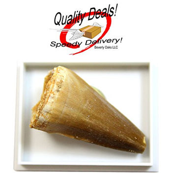 1 (ONE) Large Fossilized Mosasaurus tooth in Museum Box Display in Red Velvet Bag with Beverly Oaks Exclusive Certificate of Authenticity!