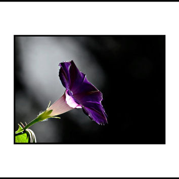 Morning Glory Floral Photography Purple,bold,Gifts under 25,lilac,spring,summer,stunning decor,deep rich purple,bold dramatic floral artwork
