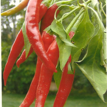 Dhanraj Hot Pepper  Food Photography Note Card - Great Kitchen Art