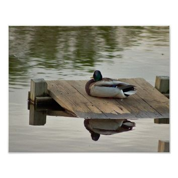 Mallard Duck Reflection Poster