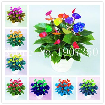 100 Pcs Rare Color Anthurium Bonsai, Potted Plant Flower, Perennial Flowering Constantly Balcony Potted Plant, DIY Home Garden