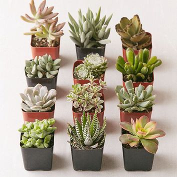 """2"""" Live Assorted Succulents - Set of 12 