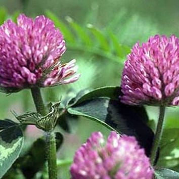 Red Clover Seeds Heirloom Medicinal Herb Naturally Grown Open Pollinated