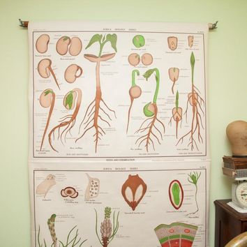 Rare Early 20th Century Jurica Biology Series Botanical Pulldown Chart