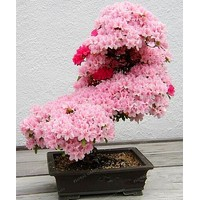 Bonsai Tree japanese Sakura plant Rare Japanese Cherry Blossoms Flowers plant in Bonsai,Pink Prunus Serrulata 10 pcs/pack