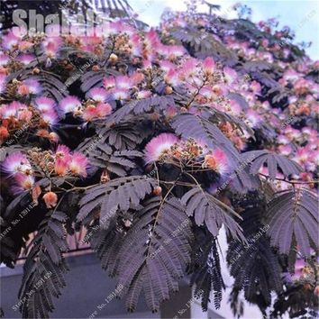Acacia Flower Albizia Julibrissin Seed Purple leaves Perennial Tree Seed Beautiful Bonsai Plant Garden Building Easy Grow 10 Pcs