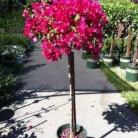Bougainvillea Barbara Karst -- 12 by 12 Inch Container Topiary Patio Tree by Monrovia Growers:Amazon:Patio, Lawn & Garden