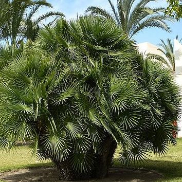 Mediterranean Fan Palm Seeds (Chamaerops humilis) 10+Seeds
