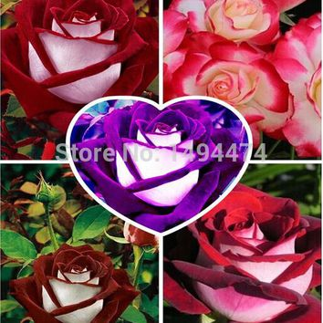 2017 New 200pcs Free Shipping Rare Osiria Rose Seeds,Chinese Rose Flower Seeds.Lover Birthday Gift.Rosa Semillas de Flores