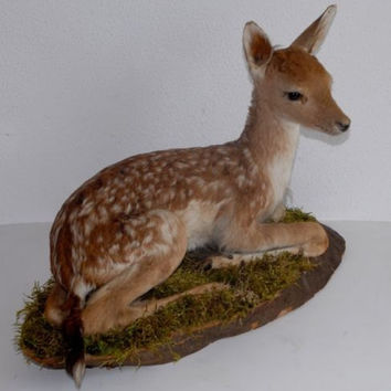 vintage taxidermy fallow deer fawn beautiful work and condition curiosities