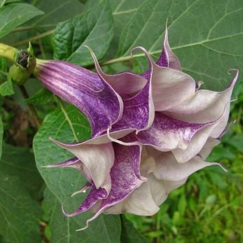 Hot Selling Datura Seeds Balcony Plant Flowers Potted Bonsai Seeds Garden With Pleasant Smell Flower Seeds 100PCS