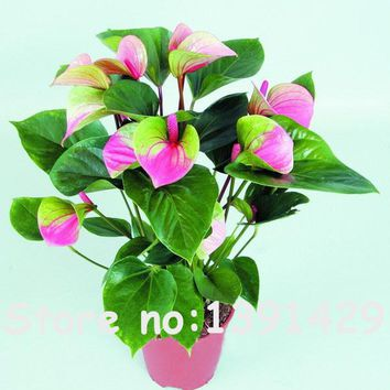 120PCS Japan Pink+Green Anthurium Seeds Rare Flower Seeds Balcony Potted Bonsai plants for DIY Home Garden Free shipping